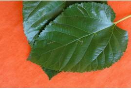 Dut Yaprağı Kullanımı